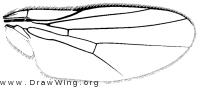Chlorops certimus, wing