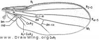 Sobarocephala flaviseta, wing