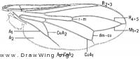 Robertsonomyia palpalis, wing