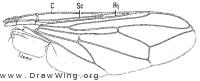 Zodion obliquefasciatum, wing