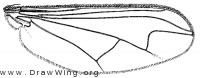 Sciapus scintillans, wing