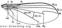 Dolichopus cuprinus, wing