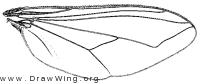 Plagioneurus univittatus, wing