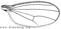 Enlinia magistri, wing