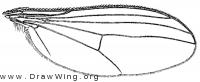 Gymnopternus spectabilis, wing