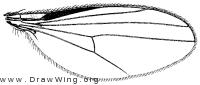 Teuchophorus signatus, wing