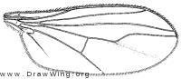 Psilopiella rutila, wing