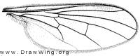 Hybos reversus, wing
