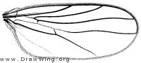 Drapetis scissa, wing