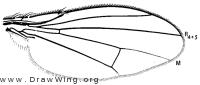 Notiphila aenigma, wing