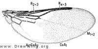 Ornithoica vicina, wing