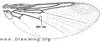 Ornithomya anchineuria, wing