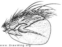 Myophthiria fimbriata, wing