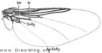 Stilbometopa impressa, wing