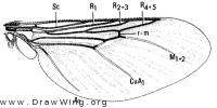 Hippobosca longipennis, wing