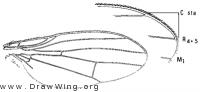 Homoneura bispina, wing