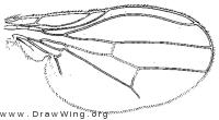 Steganolauxania latipennis, wing