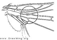 Xenochaetina muscaria, wing base