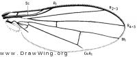 Mallochomyza citreifrons, wing