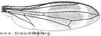 Taeniaptera trivittata, wing