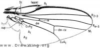 Pholeomyia indecora, wing