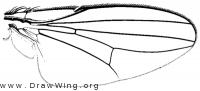 Milichiella lacteipennis, wing