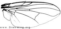 Neomuscina tripunctata, wing
