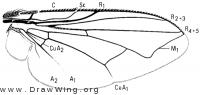 Neomyia cornicina, wing