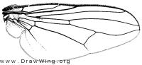 Morellia podagrica, wing