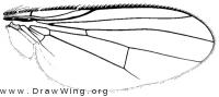 Euryomma peregrinum, wing