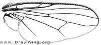 Muscina levida, wing