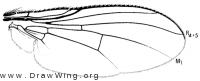 Allognota semivitta, wing
