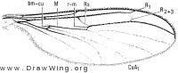 Bolitophila cinerea, wing