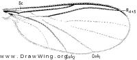 Robsonomyia reducta, wing