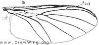 Macrocera variola, wing
