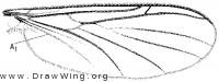 Macrorrhyncha coxalis, wing