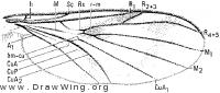 Paleoplatyura johnsoni, wing