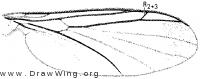 Orfelia genualis, wing