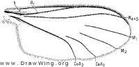 Lygistorrhina sanctaecatharinae, wing