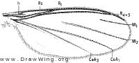 Manota, wing