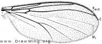 Anaclileia, wing