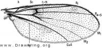 Cluzobra, wing