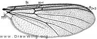 Megalopelma glabanum, wing