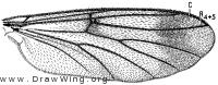 Leptomorphus nebulosus, wing