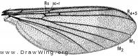 Eudicrana obumbrata, wing