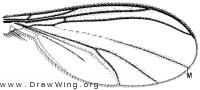 Adicroneura biocellata, wing
