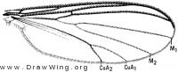Coelosia tenella, wing