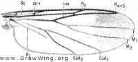 Greenomyia joculator, wing