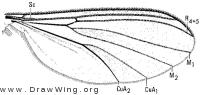 Exechiopsis nugax, wing