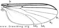 Trichonta vulcani, wing